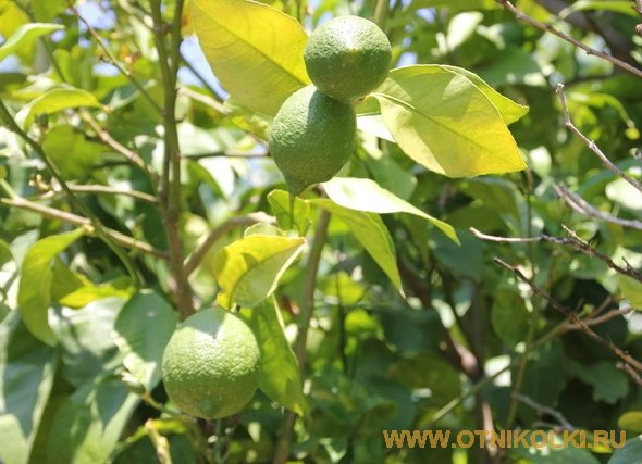 Лимоны во дворе